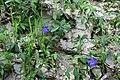 Теліженецький ліс Фіалка DSC 0044.jpg