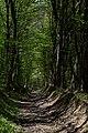 Теліженецький ліс DSC 0061.jpg