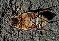 Хрущ мраморный - Polyphylla fullo - Pine Chafer - Walker (Türkischer Maikäfer) (27122350583).jpg