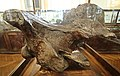 Череп носорога.Nashornschädel 2H1A0165WI.jpg