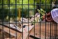 شخص يقوم بإطعام غزلان في حديقة حيوان كوكو بالخرطوم.jpg