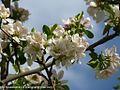 شکوفه های بهاری شهر خامنه - panoramio (8).jpg
