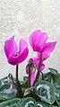 نگون ساز ایرانی-Cyclamen persicum 01.jpg