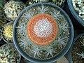 گلخانه کاکتوس دنیای خار در قم. کلکسیون انواع کاکتوس 14.jpg