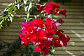 گل کاغذی- Bougainvillea 16.jpg