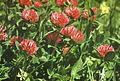 სამყურა წითელი Trifolium pratense.JPG
