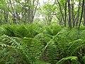 ゼンマイ原(Ferns) - panoramio.jpg