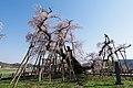 伊佐沢の久保桜 Kubo-zakura Cherry Blossom of Isazawa - panoramio.jpg