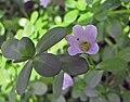 假馬齒莧 Bacopa monnieri -比利時國家植物園 Belgium National Botanic Garden- (9200879254).jpg