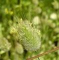 兔尾草 Lagurus ovatus -阿姆斯特丹植物園 Hortus Botanicus, Amsterdam- (9227080847).jpg