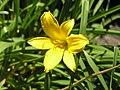 大苞萱草 Hemerocallis middendorffii -阿姆斯特丹植物園 Hortus Botanicus, Amsterdam- (9213308059).jpg