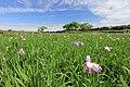 小岩菖蒲園 - panoramio (2).jpg