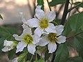 文冠果 Xanthoceras sorbifolia -濟南泉城公園 Jinan, China- (9229875160).jpg