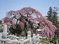 日輪寺の枝垂桜 - panoramio.jpg