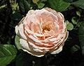 月季-巴黎人 Rosa La Parisienne -深圳人民公園 Shenzhen Renmin Park, China- (41019605790).jpg