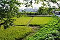 東京の水田.JPG