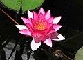 睡蓮 Nymphaea Laydekeri Fulgens -悉尼植物園 Royal Botanic Gardens, Sydney- (44614168910).jpg