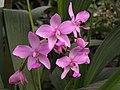 紫花苞舌蘭 Spathoglottis plicata -泰國清邁花展 Royal Flora Ratchaphruek, Thailand- (9198148223).jpg