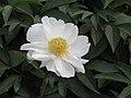 芍藥(單瓣型)-白玉盤 Paeonia lactiflora Single-series -瀋陽植物園 Shenyang Botanical Garden, China- (9240226690).jpg