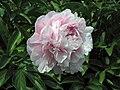 芍藥-種生粉 Paeonia lactiflora 'Seed-grown Pink' -北京景山公園 Jingshan Park, Beijing- (12380296603).jpg
