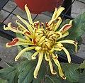 菊花-墨舞龍 Chrysanthemum morifolium 'Dark Dancing Dragon' -中山小欖菊花會 Xiaolan Chrysanthemum Show, China- (11961610444).jpg