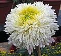 菊花-紫砂寶衣 Chrysanthemum morifolium -中山小欖菊花會 Xiaolan Chrysanthemum Show, China- (12049699114).jpg