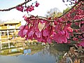 鐘花櫻桃 Cerasus campanulata -昆明黑龍潭梅園 Kunming, China- (25224581797).jpg