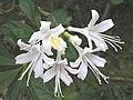 阿拉巴馬杜鵑 Rhododendron alabamense -英格蘭 Wisley Gardens, England- (9240276328).jpg