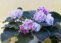 非洲紫羅蘭 Saintpaulia LE-Isadora -香港北區花鳥蟲魚展 North District Flower Show, Hong Kong- (38402098525).jpg