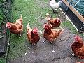 -2019-07-19 Chickens, Trimingham.JPG