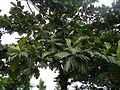 04224jfSanto Rosario La Purisima Artocarpus altilis Aliaga Nueva Ecijafvf 11.JPG