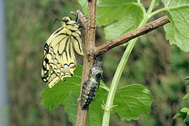 08 Emergence Machaon.jpg