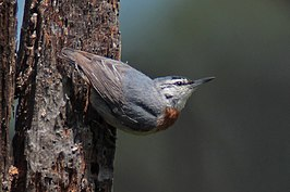 090503 Krupers nuthatch east of Gulf of Kalloni.jpg