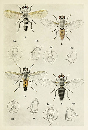 Tachinidae - Image by Harold Maxwell-Lefroy - Tachinidae