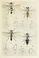 10-Indian-Insect-Life - Harold Maxwell-Lefroy - Tachinidae.jpg