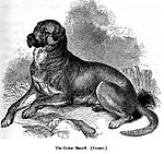 136. Cuban Mastiff.JPG
