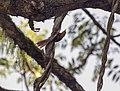 170907 ticotico ocráceo Iguazu Misiones.jpg
