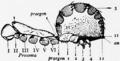 1911 Britannica-Arachnida-Liphistius desultor3.png