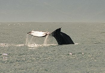 Whale Watching in Kaikoura, December 2000 Fran...