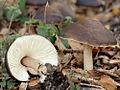 2007-12-23 Pluteus cervinus (Schaeff.) P. Kumm 10099 crop.jpg
