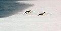 2007 Snow-Hill-Island Luyten-De-Hauwere-Emperor-Penguin-53.jpg