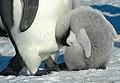 2007 Snow-Hill-Island Luyten-De-Hauwere-Emperor-Penguin-91.jpg