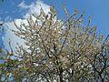20120408Kirschbaum Reilingen2.jpg