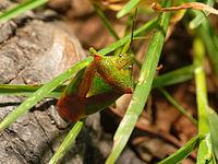 2013-08-15 16-24-09-Acanthosomatidae.jpg