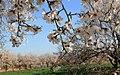 2013 Spring blossoms of Shahr-e Kord 20.jpg