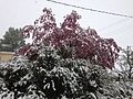 2014-05-06 09 35 09 Snow on a Crabapple and other trees in Lamoille, Nevada.JPG