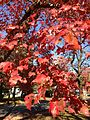 2014-10-30 11 10 28 Red Maple foliage during autumn on Lower Ferry Road in Ewing, New Jersey.JPG