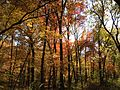 2014-10-30 13 21 14 Trees during autumn in the woodlands along the West Branch Shabakunk Creek in Ewing, New Jersey.JPG