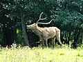 20140626 Pater Davidshert Natuurpark Lelystad.jpg