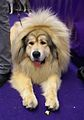 2014 Westminster Kennel Club Dog Show (12486391655).jpg